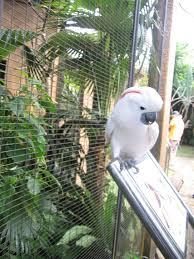 burung pandai menyanyi @ isuhangat